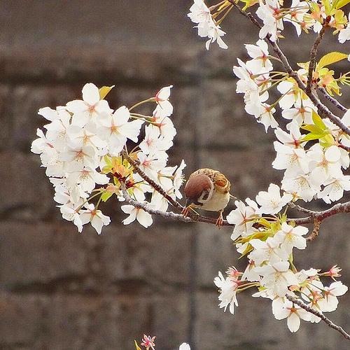 今年もキレイに咲いてくれてありがとうo┓ヘコリ #桜