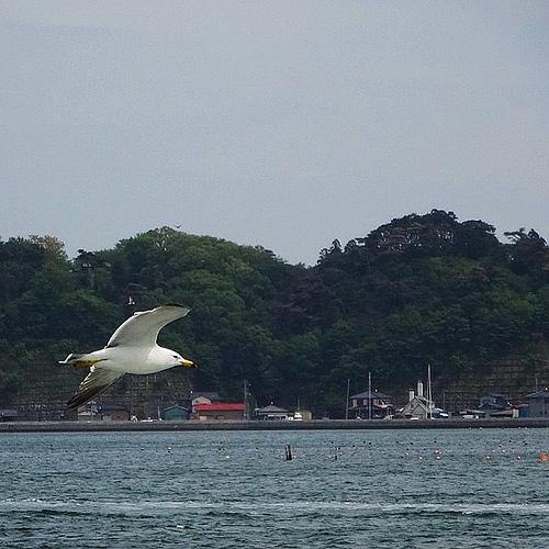 餌付け禁止なので船には近寄らないウミネコ…ようやく撮れた一枚 #bird部
