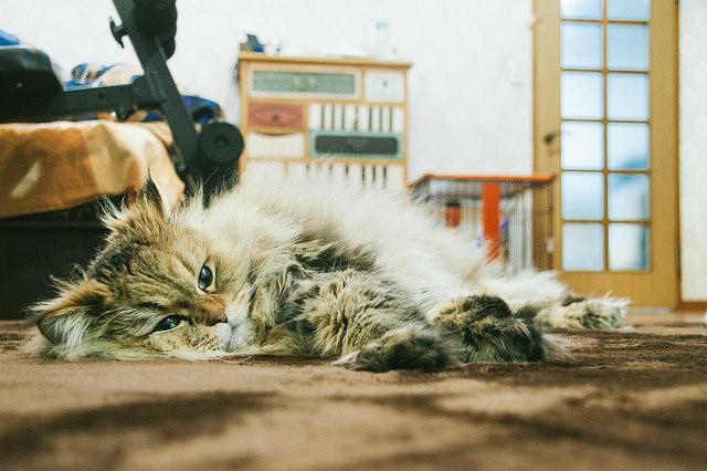 やる気のない猫
