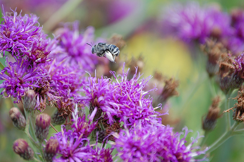 Buzzing over Ironweed