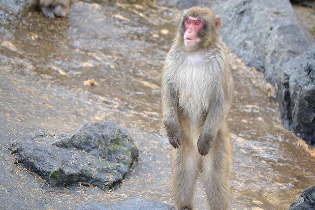 アピールする猿